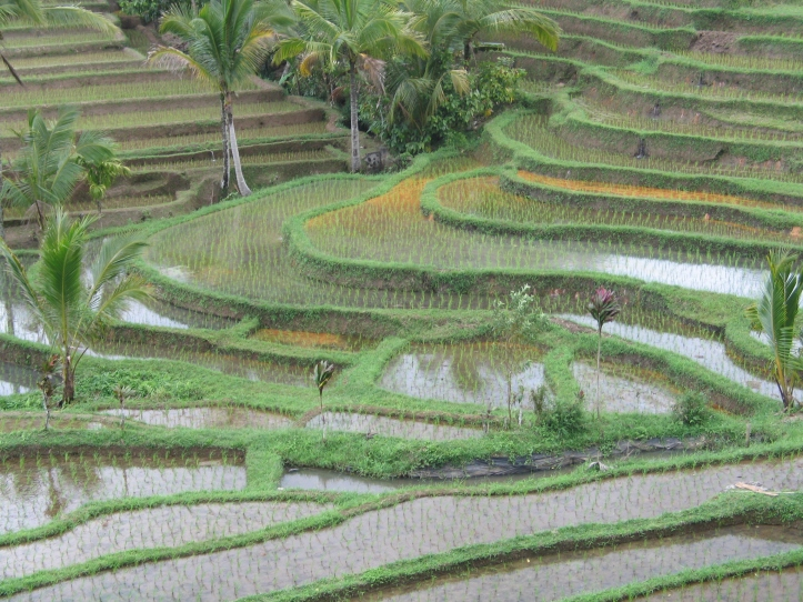 1 ricefield_6425