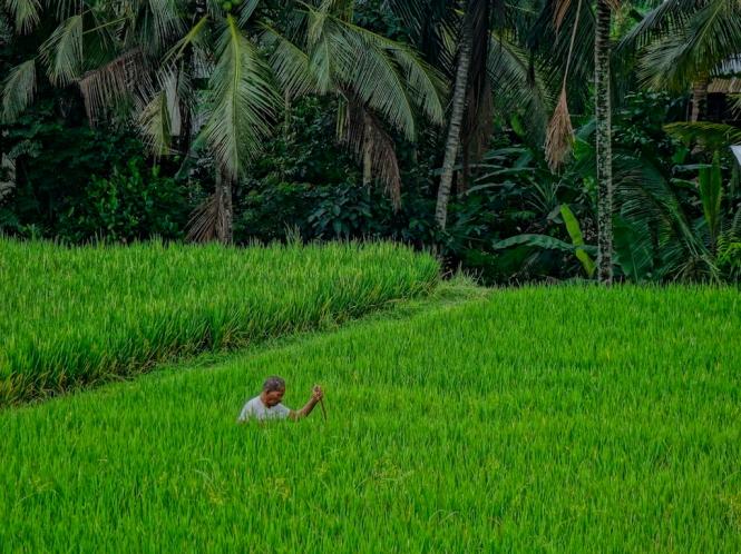 Nyoman deep in rice
