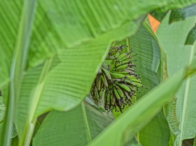Green bananas growing in the wild