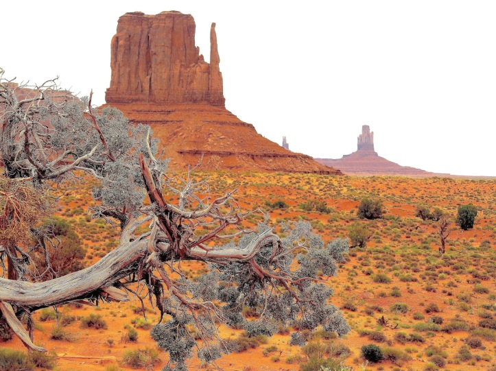 Weathered juniper, Monument Valley