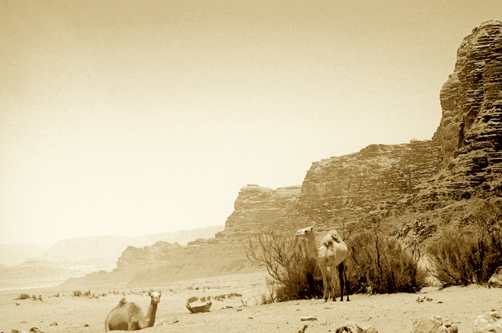 Wild camels roam Wadi Rum