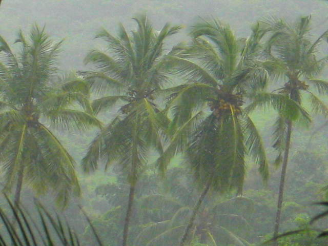 Coconut palms in the rain