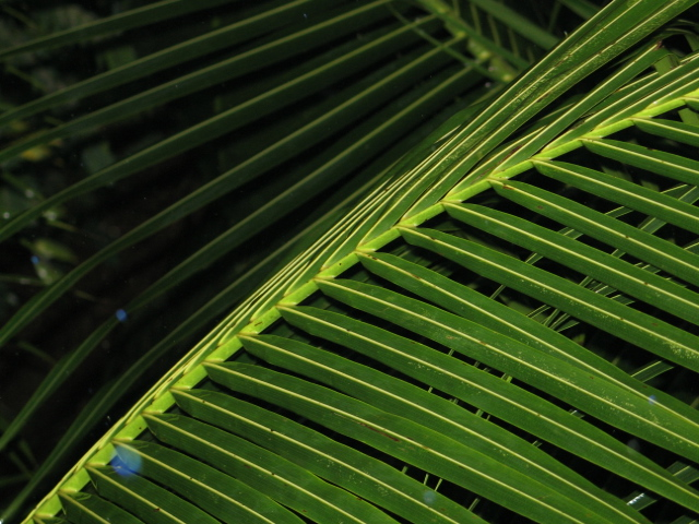 Almost dry palm leaf