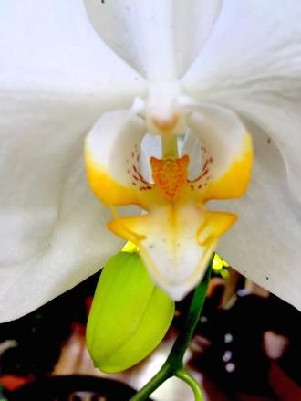 13 Orchid G Ok 1813 E1SM