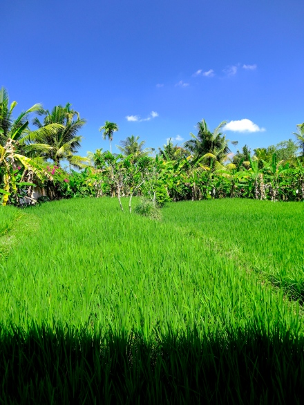 1a RicePaddyPenes 4109 E1SM
