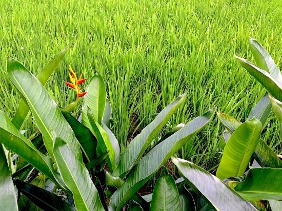1c Rice+BofP 1463 E1SM