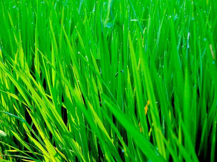 2a RiceDewDrops 4368 E1SM