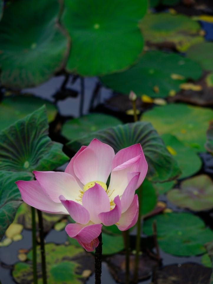 Lotus 4336SM