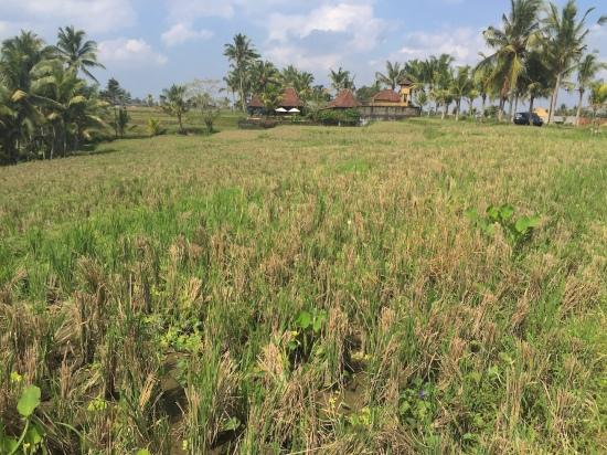 18 NO ricefield 1929 ESM