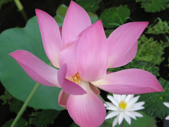 38 lotus1_4475 SM