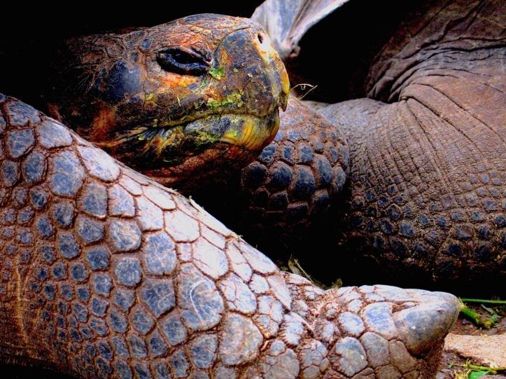 4 Turtle Galopagos 6534 Esm