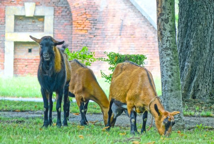 Goats in Prague