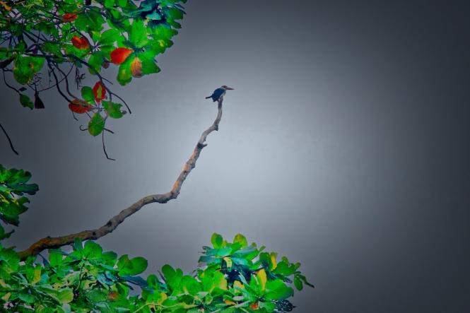 kingfisher in tree