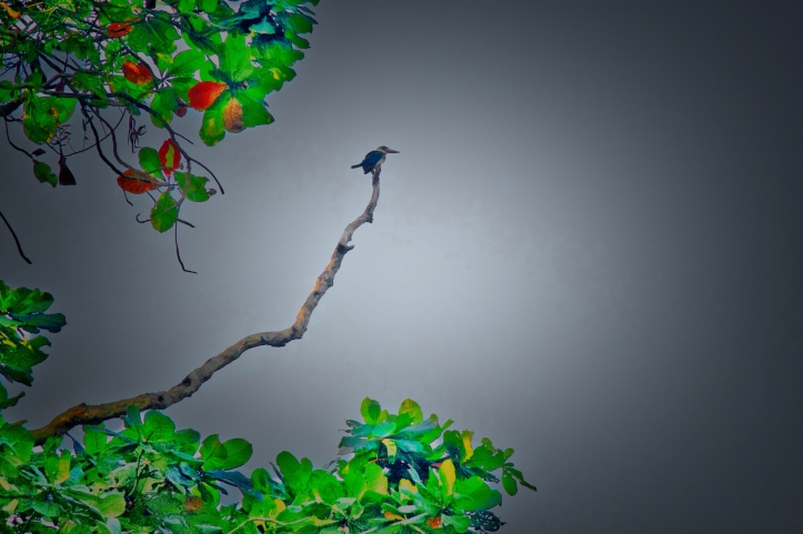 kingfisher in tree