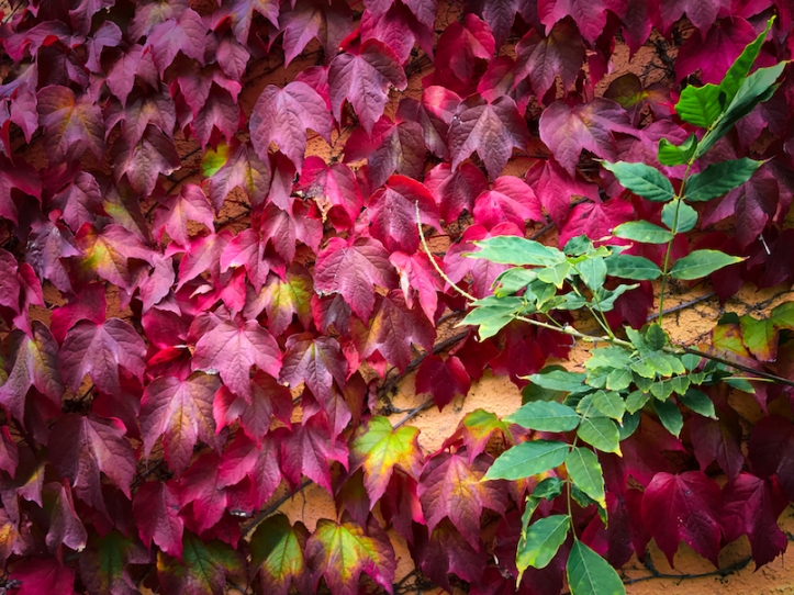 Ireland ivy autumn red